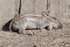 Piccolo maiale selvaggio Immagini Stock Libere da Diritti