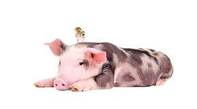 Piccolo maiale sveglio con una quaglia sulla sua testa immagine stock libera da diritti