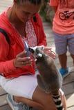 Piccolo mammifero animale divertente Africa delle lemure con la gente Fotografia Stock