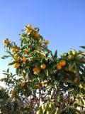 Piccolo mandarino Immagini Stock Libere da Diritti