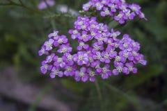 Piccolo mazzo dei fiori porpora in un prato esterno verde, achillea millefolium bianco-porpora varietà del millefoglio immagine stock