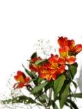 Piccolo mazzo di alstroemeria rosso con il gypsophila su un BAC bianco Fotografia Stock Libera da Diritti
