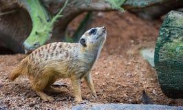Piccolo Meerkat Fotografia Stock Libera da Diritti