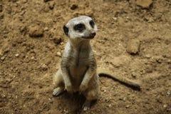 Piccolo meerkat che guarda intento fotografia stock libera da diritti