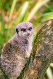 Piccolo Meerkat sveglio sull'allerta fotografia stock