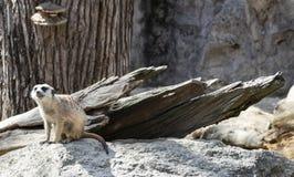 Piccolo meerkat sveglio in zoo fotografie stock libere da diritti
