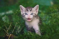 Piccolo miagolare sveglio del gatto Fotografia Stock