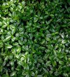 Piccolo modello delle foglie Fotografia Stock Libera da Diritti