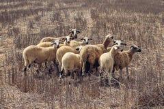 Piccolo moltitudine di pecore a Cos, Grecia immagini stock