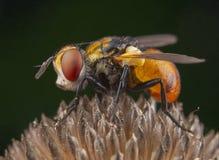 Piccolo mosca arancio con i bei occhi che posano su una pianta fotografia stock libera da diritti