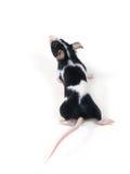 Piccolo mouse Immagini Stock Libere da Diritti