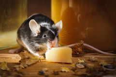 Piccolo mouse che mangia formaggio in basamento Fotografia Stock Libera da Diritti
