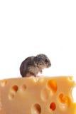 Piccolo mouse con formaggio sopra bianco Fotografia Stock Libera da Diritti