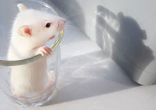 Piccolo mouse sveglio in un vetro Fotografie Stock Libere da Diritti