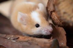 Piccolo mouse tan sul libro macchina Immagine Stock Libera da Diritti