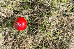 Piccolo muscaria dell'amanita del fungo in permesso di marrone dell'erba verde del campo fotografia stock