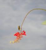 Piccolo nettare di caccia dell'uccello immagine stock