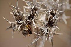Piccolo nido delle vespe sul cardo selvatico Fotografia Stock