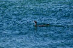 Piccolo nuoto nero dell'uccello acquatico del cormorano nel mare a Brighton le sands, Sydney, Australia fotografia stock