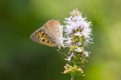 Piccolo o primo piano di rame comune di phlaeas del lycaena della farfalla Fotografia Stock Libera da Diritti