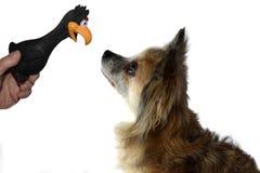 Piccolo occhio sveglio del cane della chihuahua in occhio con il suo giocattolo favorito fotografia stock