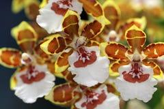 Piccolo orchdee di fioritura fotografia stock libera da diritti