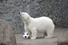 Piccolo orso polare bianco Fotografia Stock