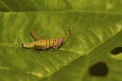 Piccolo pagliaccio Grasshopper, Pondicherry, Tamilnadu fotografia stock libera da diritti