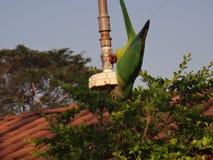 Piccolo pappagallo fotografie stock libere da diritti