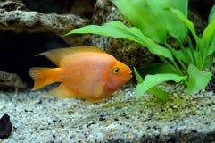 Piccolo pappagallo di colore rosso dei pesci del Aquarian Immagine Stock