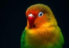 Piccolo pappagallo divertente Fotografie Stock Libere da Diritti