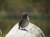 Piccolo passero che riposa sul ceppo Fotografia Stock