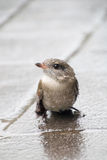 Piccolo passero nella pioggia Fotografia Stock Libera da Diritti