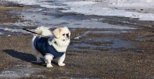 Piccolo pekignese bianco nel maglione fotografia stock libera da diritti