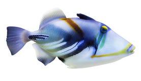 Piccolo pesce blu e bianco isolato fotografia stock libera da diritti