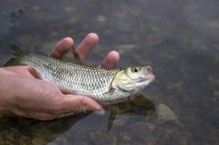 Piccolo pesce del cavedano a disposizione Liberando pesce indietro in acqua fotografia stock