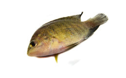 Piccolo pesce di tilapia Fotografie Stock