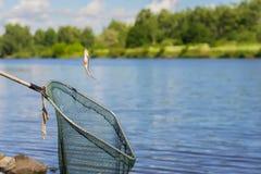 Piccolo pesce persico preso del pesce, appendente su un gancio sopra una rete da pesca sopra un paesaggio naturale dello spazio d immagine stock libera da diritti