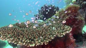 Piccolo pesce piacevole il giorno soleggiato nei coralli nell'isola zulù di Apo del mare archivi video