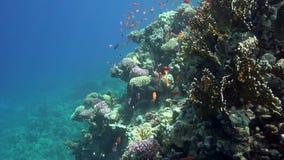 Piccolo pesce rosso nel Mar Rosso dell'acqua bassa video d archivio