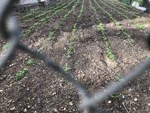 Piccolo piantine fresche verdi sulla terra nel giardino fotografia stock libera da diritti