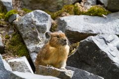 Piccolo Pika sveglio che si siede sulle rocce Fotografia Stock Libera da Diritti