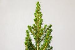 Piccolo pinetree in un vaso Immagini Stock Libere da Diritti