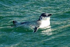Piccolo pinguino Fotografia Stock