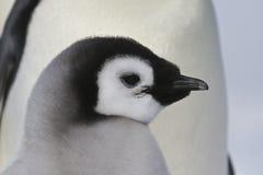 Piccolo pinguino Immagine Stock Libera da Diritti