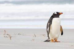 Piccolo pinguino sveglio di Gentoo che riposa sulla spiaggia Fotografie Stock Libere da Diritti