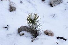 Piccolo pino che sedling con il ghiaccio sulla cima Fotografie Stock Libere da Diritti