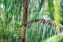 Piccolo pino nel campo, crescente nella natura Immagini Stock Libere da Diritti