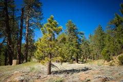 Piccolo pino nel prato della montagna Fotografia Stock Libera da Diritti