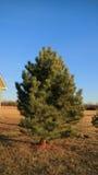 Piccolo pino sul campo del prato Fotografia Stock
